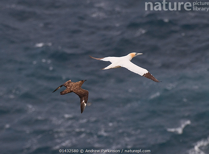 Great skua (Stercorarius skua) flying up behind to  attack the Gannet (Morus basanus) and try to force it, in mid-air, to regurgitate fish. This new, adaptive behavior has only been noted in the last couple of years. Shetland Islands, Scotland, UK, September.  ,  AGGRESSION,ATLANTIC OCEAN,BEHAVIOUR,BIRDS,CHASING,DEFENSIVE,EUROPE,FEEDING,FLYING,GANNETS,KLEPTOPARASITISM,MIXED SPECIES,MORUS BASSANUS,SCOTLAND,SEABIRDS,SKUAS,SULIDAE,THE SEA,UK,VERTEBRATES,United Kingdom  ,  Andrew Parkinson