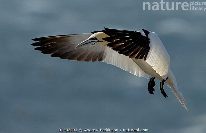 Gannet (Morus bassanus) using its feet and its wings to brake as it returns to its breeding colony. Saltee Islands, Republic of Ireland, May.  ,  BIRDS,EIRE,EUROPE,FLYING,GANNETS,IRELAND,MORUS BASSANUS,REPUBLIC OF IRELAND,SEABIRDS,SULIDAE,VERTEBRATES  ,  Andrew Parkinson
