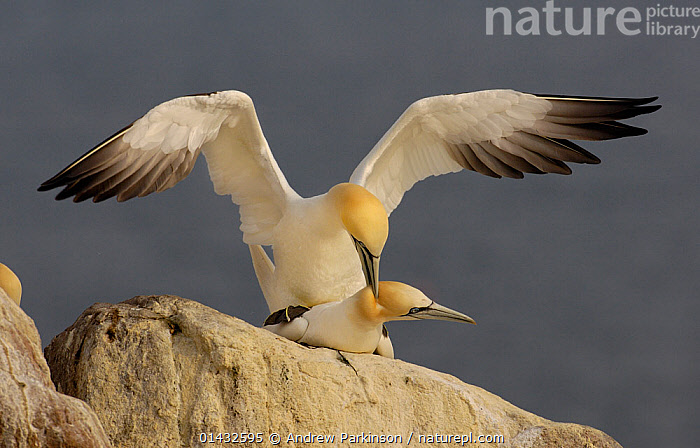 Gannet (Morus bassanus) pair mating. Saltee Islands, Republic of Ireland, May.  ,  BIRDS,COPULATION,EIRE,EUROPE,FEMALES,GANNETS,IRELAND,MALE FEMALE PAIR,MALES,MATING BEHAVIOUR,MORUS BASSANUS,REPRODUCTION,REPUBLIC OF IRELAND,SEABIRDS,SULIDAE,VERTEBRATES  ,  Andrew Parkinson