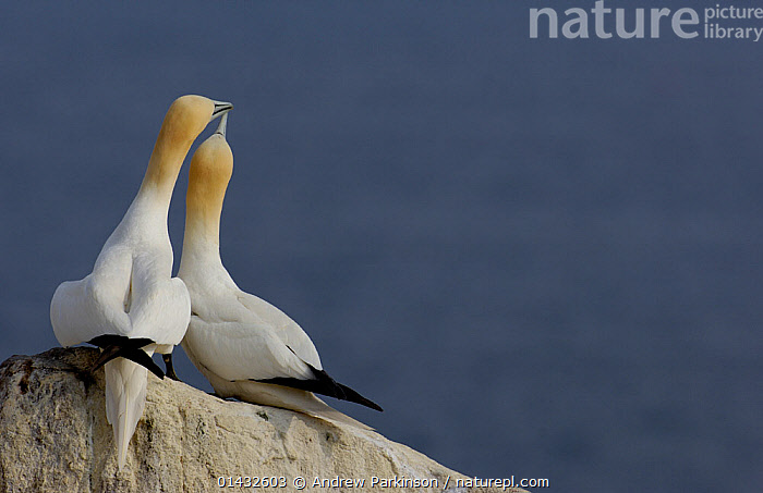 Gannet (Morus bassanus) breeding pair sit together on rock. Saltee Islands, Republic of Ireland, May.  ,  ATLANTIC OCEAN,BIRDS,COASTS,EIRE,EUROPE,FEMALES,GANNETS,IRELAND,MALE FEMALE PAIR,MALES,MORUS BASSANUS,REPUBLIC OF IRELAND,SEABIRDS,SULIDAE,THE SEA,VERTEBRATES  ,  Andrew Parkinson