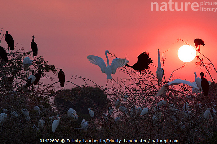 Mixed group of Cattle egrets (Bubulcus ibis), Great egrets (Ardea alba), African openbill storks (Anastomus lamelligerus) and Sacred ibis (Threskiornis aethiopicus) gathering to roost, Selous Game Reserve, Tanzania., catalogue6,BUBULCUS IBIS,Animal,Vertebrate,Birds,Stork,African openbill,Cattle egret,Typical heron,Great egret,Ibis,Sacred ibis,Animalia,Animal,Wildlife,Vertebrate,Chordate,Aves,Birds,Ciconiiformes,Ciconiidae,Stork,Anastomus,Anastomus lamelligerus,African openbill,Pelecaniformes,Ardeidae,Bubulcus,Cattle egret,Egret,Heron,Ardeinae,Bubulcus ibis,Buff backed heron,Ardea,Typical heron,Ardea alba,Great egret,Great white egret,Large egret,Great white heron,Casmerodius albus,Egretta alba,Threskiornithidae,Threskiornis,Ibis,Ibe,Ibide,Threskiornithinae,Threskiornis aethiopicus,Sacred ibis,African sacred ibis,Resting,Rest,Roosting,Roost,Arrangement,Variation,Colour,Pink,White,Group,Medium Group,No One,Nobody,Back Lit,Backlit,Sky,Outdoors,Open Air,Outside,Day,Animal Behaviour,Cooperation,Behaviour,Medium group of animals,White colour, Felicity Lanchester,Felicity  Lanchester