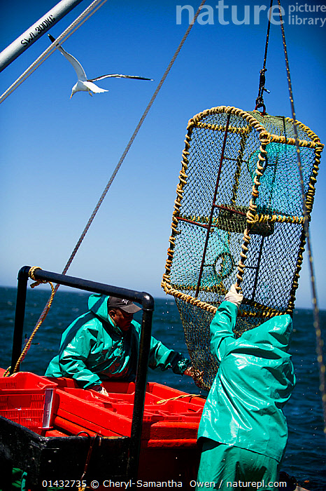 Crew of the James Archer (Oceana fisheries) pull up a lobster trap during West coast rock lobster (Jasus lalandii) fishing,  Saldanha Bay and St. Helena Bay, Western Cape, South Africa.  ,  catalogue6,JASUS LALANDII,Animal,Crustacean,Decapod,Spiny lobster,Cape rock lobster,West Coast rock lobster,Animalia,Animal,Wildlife,Crustracea,Crustacean,Malacostraca,Decapoda,Decapod,Palinuridae,Spiny lobster,Langouste,Rock lobster,Jasus,Lifting,Picking Up,Picks Up,Raising,Working,People,Male,Man,Only Men,Occupation,Fisherman,Angler,Anglers,Fishermen,Fishers,Teamwork,Empty,Colour,Blue,Turquoise,Aqua,Aqua Blue,Torquoise,Red,2 People,Two Person,Two Persons,Waterproof,Africa,Southern Africa,South Africa,Man Made,Object,Container,Containers,Box,Boxes,Crate,Crates,Equipment,Fishing Equipment,Lobster Trap,Lobster Pot,Lobster Pots,Lobster Traps,Boat,Boats,Fishing Boat,Fisherboat,Fisherboats,Fishing Boats,Man Made Material,Plastic,Plastics,Sky,Outdoors,Open Air,Outside,Day,Fishing Industries,Marine,Arthropod,Arthropods,Working boats,Saltwater,Sea,Fisheries,Fishery,Cape rock lobster,West Coast rock lobster,Palinurus lalandii,Cape floristic region,Biodiversity hotspots,Biodiversity hotspot,Invertebrate,South African,Blue sky,On deck,Saldanha Bay,St Helena Bay,Marine  ,  Cheryl-Samantha  Owen