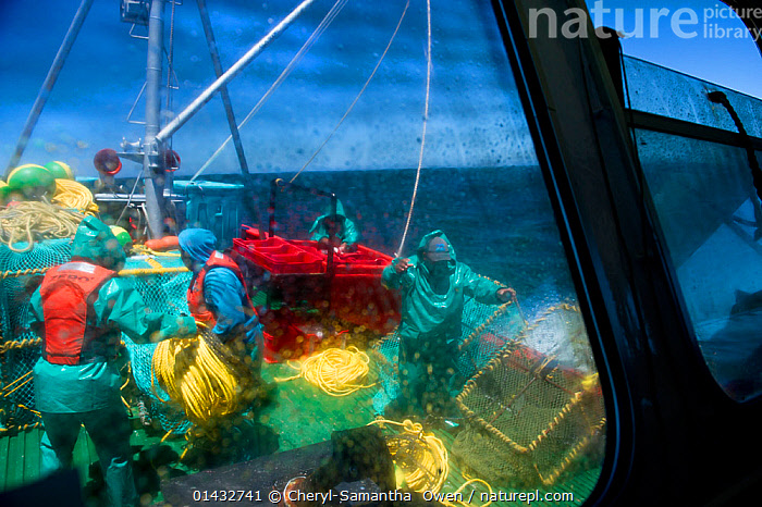 The crew of the James Archer, Oceana fisheries, throws baited lobster traps into the ocean to catch West coast rock lobster (Jasus lalandii). View from cabin window, Saldanha Bay and St. Helena Bay, Western Cape, South Africa., catalogue6,JASUS LALANDII,Animal,Crustacean,Decapod,Spiny lobster,Cape rock lobster,West Coast rock lobster,Animalia,Animal,Wildlife,Crustracea,Crustacean,Malacostraca,Decapoda,Decapod,Palinuridae,Spiny lobster,Langouste,Rock lobster,Jasus,Working,People,Male,Man,Occupation,Fisherman,Angler,Anglers,Fishermen,Fishers,Teamwork,Group,Group Of People,Small Group Of People,Few,4 People,Wet,Waterproof,Africa,Southern Africa,South Africa,Man Made,Object,Equipment,Fishing Equipment,Lobster Trap,Lobster Pot,Lobster Pots,Lobster Traps,Land Vehicle,Boat,Boats,Fishing Boat,Fisherboat,Fisherboats,Fishing Boats,Part Of Vehicle,Vehicle Window,Outdoors,Open Air,Outside,Day,Fishing Industries,Marine,Arthropod,Arthropods,Working boats,Saltwater,Sea,Boat Part,Fisheries,Fishery,Cape rock lobster,West Coast rock lobster,Palinurus lalandii,Cape floristic region,Biodiversity hotspots,Biodiversity hotspot,Interior,Cabin,Adverse conditions,South African,On deck,View Through,Saldanha Bay,St Helena Bay,Marine, Cheryl-Samantha  Owen