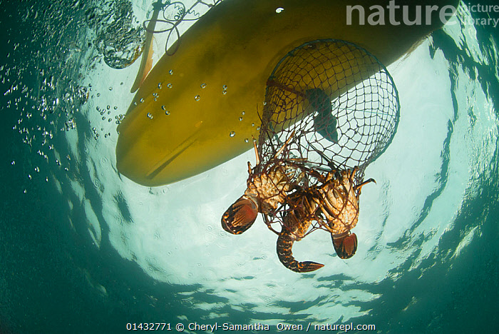 A hoop net with West coast rock lobster (Jasus lalandii) being pulled up in sea kayak for recreational fishing. Kommetjie, Western Cape, South Africa, catalogue6,JASUS LALANDII,Animal,Crustacean,Decapod,Spiny lobster,Cape rock lobster,West Coast rock lobster,Animalia,Animal,Wildlife,Crustracea,Crustacean,Malacostraca,Decapoda,Decapod,Palinuridae,Spiny lobster,Langouste,Rock lobster,Jasus,Leisure,Outdoor Pursuit,Fishing for leisure,Trapped,Colour,Yellow,Two,No One,Nobody,Africa,Southern Africa,South Africa,Close Up,Low Angle View,Man Made,Object,Equipment,Fishing Equipment,Lobster Trap,Lobster Pot,Lobster Pots,Lobster Traps,Land Vehicle,Boat,Boats,Bubble,Underwater,Abstract,Abstracts,Arthropod,Arthropods,Open boat,Sea kayak,Open boat,Open boats,Cape rock lobster,West Coast rock lobster,Palinurus lalandii,Cape floristic region,Biodiversity hotspots,Biodiversity hotspot,South African,Two Objects,Recreational,Kommetijie,Marine, Cheryl-Samantha  Owen