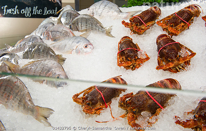 West coast rock lobster (Jasus lalandii), frozen, at a seafood counter in the Food Lovers Supermarket, Noordhoek, Longbeach Mall, South Africa  ,  ANIMALIA,ANIMAL,WILDLIFE,CRUSTRACEA,CRUSTACEAN,MALACOSTRACA,DECAPODA,DECAPOD,PALINURIDAE,SPINY LOBSTER,LANGOUSTE,ROCK LOBSTER,JASUS,AFRICA,SOUTHERN AFRICA,SOUTH AFRICA,MAN MADE,FOODS AND DRINKS,FOOD,FOODS,SEAFOOD,SEAFOODS,MAN MADE STRUCTURE,SHOP,SHOPS,STORES,ARTHROPOD,ARTHROPODS,CAPE ROCK LOBSTER,WEST COAST ROCK LOBSTER,PALINURUS LALANDII,ANIMALS,DECAPODS,SPINY LOBSTERS,ROCK LOBSTERS,CRUSTACEANS,ANIMAL,CRUSTACEAN,DECAPOD,SPINY LOBSTER,CAPE ROCK LOBSTER,WEST COAST ROCK LOBSTER,Invertebrates  ,  Cheryl-Samantha  Owen