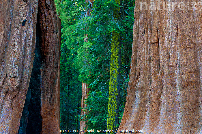 Giant Sequoia (Sequoiadendron giganteum) in Sequoia National Park, California, USA.  ,  catalogue6,SEQUOIADENDRON GIGANTEUM,Plant,Vascular plant,Conifer,Cypress,Giant sequoia,Giant sequoia tree,Plantae,Plant,Tracheophyta,Vascular plant,Pinopsida,Conifer,Gymnosperm,Spermatophyte,Pinophyta,Coniferophyta,Coniferae,Spermatophytina,Gymnospermae,Cupressales,Cupressaceae,Cypress,Sequoiadendron,Giant sequoia,Redwood,Sequoiadendron giganteum,Giant sequoia tree,Giant redwood,Sierra redwood,Wellingtonia,Wellingtonia gigantea,Sequoia gigantea,Sequoia wellingtonia,Symmetry,Colour,Green,No One,Nobody,Rough,Coarse,Knobbed,Uneven,Textured,Texture,Textures,North America,USA,Western USA,Southwest US,California,Bark,Tree Trunk,Outdoors,Open Air,Outside,Day,Nature,Natural,Natural World,Woodland,Forest,Protected area,National Park,Sequoia National Park,View Through,Green colour,Tree,Trees,Plants  ,  Inaki  Relanzon