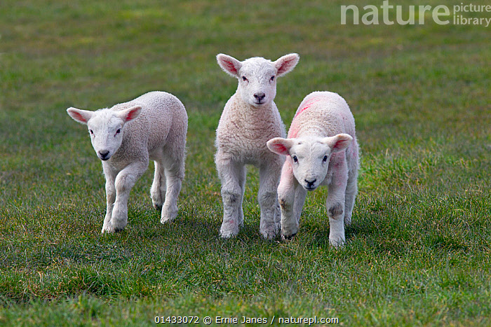 Spring lambs in meadow, UK, April  ,  catalogue6,Walking,Standing,Curiosity,Relationship,Friendship,Uncertain,Unsure,Colour,White,Side By Side,Few,Three,Group,No One,Nobody,Europe,Western Europe,UK,Great Britain,Front View,View From Front,Animal,Young Animal,Juvenile,Babies,Baby Mammal,Baby Mammals,Lambs,Plant,Grass Family,Grass,Grasses,Ear,Animal Ears,Ears,Food,Foods,Meat,Meats,Red Meat,Lamb,Cultivated Land,Fields,Pastures,Outdoors,Open Air,Outside,Spring,Day,Domestic animal,Domestic animals,Young,Farmland,Domesticated,Ovis aries,Baby,Direct Gaze,Three Animals,White colour,Ears Pricked,Sheep,Concepts,Plants,United Kingdom  ,  Ernie  Janes