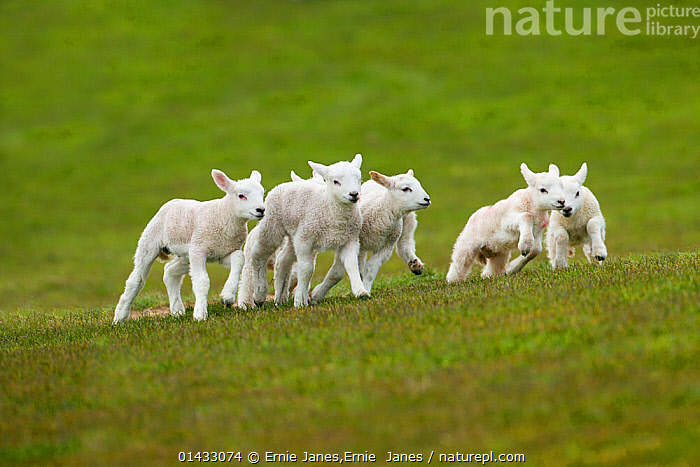 Lambs in meadow in spring, UK, April, ACTION,April,baby,Breeding,calendar,card,COLD,comical,farming,Field,Grass,GREEN,jump,LIVESTOCK,MOTHER,playful,SHEEP,YOUNG,catalogue6,Running,New Beginnings,Begin,New Life,Enjoyment,Enjoy,Enjoying,Pleasure,Mischief,Group,Medium Group,No One,Nobody,Europe,Western Europe,UK,Great Britain,Animal,Young Animal,Juvenile,Babies,Baby Mammal,Baby Mammals,Lambs,Food,Foods,Meat,Meats,Red Meat,Lamb,Cultivated Land,Croplands,Fields,Pastures,Outdoors,Open Air,Outside,Spring,Day,Grassland,Meadow,Meadows,Animal Behaviour,Playing,Domestic animal,Behaviour,Domestic animals,Young,Farmland,Domesticated,Play,Playful,Ovis aries,Baby,Five animals,Beginnings,Sheep,Gradient,Uphill,Plants,Communication,United Kingdom, Ernie Janes,Ernie  Janes