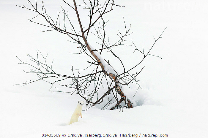 Stoat (Mustela erminea) in white winter coat in snow, Vauldalen, Sor-Trondelag, Norway.April  ,  carnivore,ermine,erminea,mammal,MAMMALS,Mustela,NORWAY,S�r Tr�ndelag,SPRING,stoat,Vauldalen,WHITE,catalogue6,Animal,Vertebrate,Mammal,Carnivore,Mustelid,Stoat,Animalia,Animal,Wildlife,Vertebrate,Chordate,Mammalia,Mammal,Carnivora,Carnivore,Mustelidae,Mustelid,Mustela,Mustela erminea,Stoat,Ermine,Short tailed Weasel,Alertness,Alert,Camouflage,Scale,Proportion,Colour,White,No One,Nobody,Size,Small,Little,Tiny,Europe,Northern Europe,North Europe,Nordic Countries,Scandinavia,Norway,Horizontal,Plant,Tree,Bare Tree,Bare Trees,Hill,Hills,Hillside,Hillsides,Snow,Outdoors,Open Air,Outside,Day,Colour phases,Winter coat,White colour,Vauldalen,Sor Trondelag  ,  Orsolya Haarberg,Orsolya  Haarberg