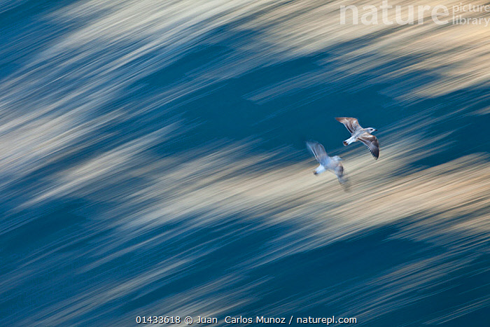 Two juvenile Atlantic yellow legged gulls (Larus michahellis) in flight, Izmir, Turkey, October., catalogue6,Animal,Vertebrate,Birds,Gull,Larinae,Atlantic yellow legged gull,Animalia,Animal,Wildlife,Vertebrate,Chordate,Aves,Birds,Charadriiformes,Laridae,Gull,Seabird,Larus,Larinae,Larus michahellis,Atlantic yellow legged gull,Larus argentatus michahellis,Larus cachinnans michahellis,Larus cachinnans atlantis,Larus cachinnans lusitanius,Flying,On The Move,Speed,Urgency,Colour,Blue,White,Two,No One,Nobody,Asia,Middle East,Turkey,Photographic Effect,Blurred Motion,Blurred Movement,Young Animal,Juvenile,Coastlines,Outdoors,Open Air,Outside,Day,Coast,Coastal,Arty shots,Young,Flight,Two animals,Moving,White colour,Hurrying,Izmir, Juan  Carlos Munoz