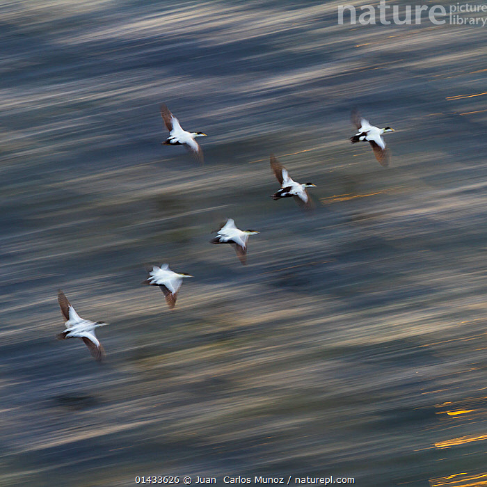 Group of male Common eiders (Somateria mollissima) in flight, Iceland, June., catalogue6,Animal,Vertebrate,Birds,Water fowl,Waterfowl,Eider,Animalia,Animal,Wildlife,Vertebrate,Chordate,Aves,Birds,Anseriformes,Water fowl,Galloanserans,Waterfowl,Anatidae,Somateria,Somateria mollissima,Eider,Common eider,Eider duck,Flying,Moving After,Following,Follow,Follows,Determination,Effort,Exertion,Trying,Guidance,Guiding,Journey,Journeys,Leadership,On The Move,Speed,Urgency,Flocking,Flocks,Group,Medium Group,No One,Nobody,Europe,Northern Europe,North Europe,Nordic Countries,Scandinavia,Iceland,Square Image,Square,Squares,High Angle View,Photographic Effect,Blurred Motion,Blurred Movement,Male Animal,Outdoors,Open Air,Outside,Day,Arty shots,Flight,Elevated view,Medium group of animals,Moving,Flight Formation,Hurrying,Wildfowl,Duck,Ducks, Juan  Carlos Munoz
