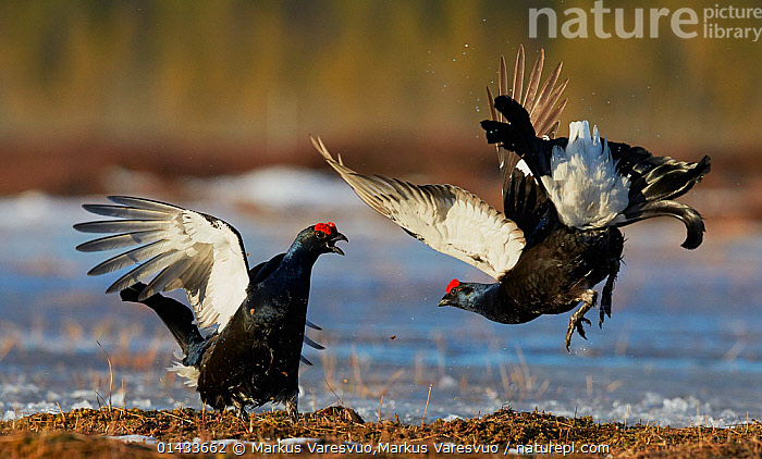 Two male Black grouse (Lyrurus tetrix) displaying at lek, Utajarvi, Finland, April., bird,catalogue6,Vocalisation,Courting,Rivalry,Rival,Rivals,Colour,Black,Mid Air,Two,No One,Nobody,Europe,Northern Europe,North Europe,Nordic Countries,Finland,Animal,Male Animal,Wing,Wings,Ice,Outdoors,Open Air,Outside,Day,Animal Behaviour,Mating Behaviour,Courtship,Aggression,Display,Behaviour,Displaying,Lekking,Wings spread,Wingspan,Two animals,Utajarvi,Communication,Scandinavia, Markus Varesvuo,Markus Varesvuo