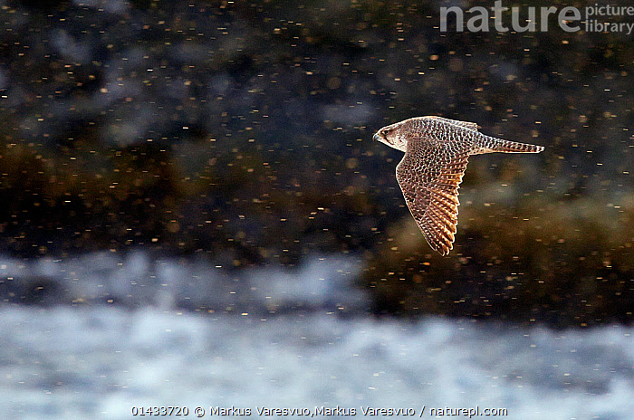 Gyrfalcon (Falco rusticolus), Vardo, Norway, March.  ,  bird,catalogue6,Gyrfalcon,Animalia,Vertebrate,Aves,Falconiformes,Falconidae,Falco,Falco rusticolus,Gyrfalcon,Flying,Determination,Direction,On The Move,Speed,No One,Nobody,Europe,Northern Europe,North Europe,Nordic Countries,Scandinavia,Norway,Arctic,Polar,Profile,Side View,Back Lit,Backlit,Animal,Feather,Feathers,Coastlines,Snow,Weather,Snowing,Snowfall,Countryside,Outdoors,Open Air,Outside,Day,Coast,Coastal,Flight,Plumage,Moving,Vardo  ,  Markus Varesvuo,Markus Varesvuo