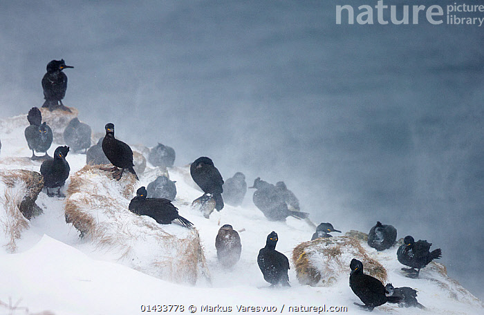 Flock of Common shags (Phalacrocorax arostotelis) resting on a cliff, with wind blown snow, Vardo, Norway, March.  ,  catalogue6,Shag,Animalia,Vertebrate,Aves,Suliformes,Phalacrocoracidae,Phalacrocorax,Phalacrocorax aristotelis,Shag,European shag,Common shag,Green shag,Green cormorant,Sheltering,Resting,Rest,Waiting,Resilience,Resilient,Flocking,Flocks,Many,Group,Large Group,No One,Nobody,Windswept,Wind Blown,Wind Blown,Windblown,Europe,Northern Europe,North Europe,Nordic Countries,Scandinavia,Norway,Arctic,Polar,Copy Space,Windy,Cliff,Coastlines,Rock,Snow,Weather,Precipitation,Snowing,Snowfall,Outdoors,Open Air,Outside,Season,Seasons,Winter,Day,Coast,Coastal,Bad Weather,Severe weather,Safety in Numbers,Adverse conditions,Negative space,Vardo  ,  Markus Varesvuo