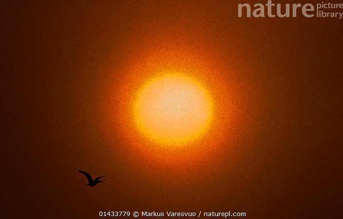 Common shag (Phalacrocorax aristotelis) flying, with the sun in the background, Vardo, Norway, March.  ,  catalogue6,Shag,Animalia,Vertebrate,Aves,Suliformes,Phalacrocoracidae,Phalacrocorax,Phalacrocorax aristotelis,Shag,European shag,Common shag,Green shag,Green cormorant,Flying,Atmospheric Mood,Atmospheric,Journey,Journeys,On The Move,Scale,Proportion,Colour,Yellow,No One,Nobody,Luminosity,Glow,Glows,Size,Small,Little,Tiny,Temperature,Hot,Europe,Northern Europe,North Europe,Nordic Countries,Scandinavia,Norway,Arctic,Polar,Back Lit,Backlit,Outer Space,Space,The Universe,Universe,Outdoors,Open Air,Outside,Day,Travel,Place Of Interest,Travel Destinations,Silhouette,Flight,Moving,Vardo  ,  Markus Varesvuo