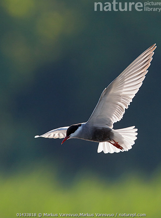 Whiskered tern (Chlidonias hybridus), Hungary, June.  ,  bird,catalogue6,Whiskered tern,Animalia,Vertebrate,Aves,Charadriiformes,Sternidae,Chlidonias,Chlidonias hybrida,Whiskered tern,Flying,Determination,Direction,Ease,Easy,On The Move,No One,Nobody,Europe,Eastern Europe,East Europe,Hungary,Copy Space,Close Up,Back Lit,Backlit,Animal,Wing,Wings,Outdoors,Open Air,Outside,Day,Flight,Wings spread,Wingspan,Negative space,Moving  ,  Markus Varesvuo,Markus Varesvuo