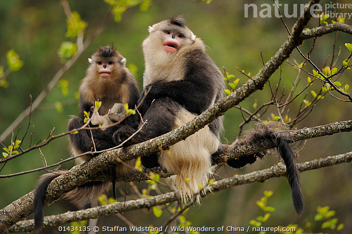 Yunnan Snub-nosed monkey (Rhinopithecus bieti) two adults, one with a baby, Ta Chen NP, Yunnan province, China, ASIA,BABIES,BIODIVERSITY HOTSPOT,BIODIVERSITY HOTSPOTS ,BLACK SNUB NOSED MONKEY,CERCOPITHECIDAE,CHINA,ENDANGERED,FAMILIES,MAMMALS,MONKEYS,MOTHER BABY,MOUNTAINS OF SOUTHWEST CHINA,NP,PRIMATES,RESERVE,THREE,VERTEBRATES,YOUNG,National Park, Staffan Widstrand / Wild Wonders of China