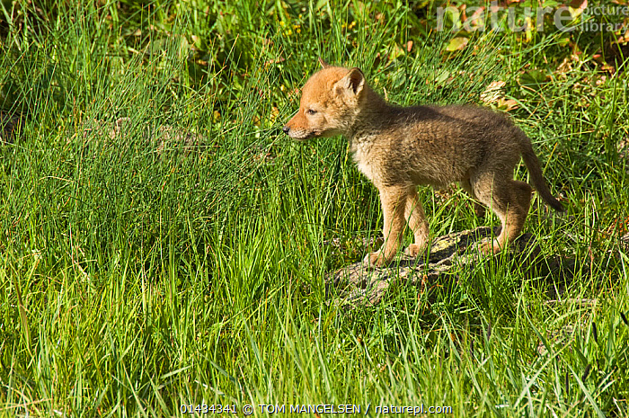 Coyote (Canis latrans) pup standing in grass, Yellowstone National Park, Wyoming, USA. June., ANIMAL,VERTEBRATE,MAMMAL,CARNIVORE,CANID,DOG,COYOTE,ANIMALIA,ANIMAL,WILDLIFE,VERTEBRATE,CHORDATE,MAMMALIA,MAMMAL,CARNIVORA,CARNIVORE,CANIDAE,CANID,CANIS,DOG,CANIS LATRANS,COYOTE,AMERICAN JACKAL,BRUSH WOLF,PRAIRIE WOLF,CUTE,ADORABLE,NORTH AMERICA,USA,WESTERN USA,WYOMING,PROFILE,SIDE VIEW,YOUNG ANIMAL,JUVENILE,BABIES,BABY MAMMAL,BABY MAMMALS,CUB,PUP,PUPS,RESERVE,YOUNG,PROTECTED AREA,NATIONAL PARK,BABY,YELLOWSTONE NATIONAL PARK, TOM MANGELSEN