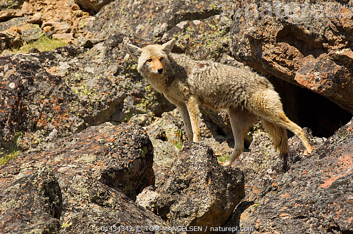 Coyote (Canis latrans) female standing on boulders, Yellowstone National Park, Wyoming, USA. June., ANIMAL,VERTEBRATE,MAMMAL,CARNIVORE,CANID,DOG,COYOTE,ANIMALIA,ANIMAL,WILDLIFE,VERTEBRATE,CHORDATE,MAMMALIA,MAMMAL,CARNIVORA,CARNIVORE,CANIDAE,CANID,CANIS,DOG,CANIS LATRANS,COYOTE,AMERICAN JACKAL,BRUSH WOLF,PRAIRIE WOLF,NORTH AMERICA,USA,WESTERN USA,WYOMING,FEMALE ANIMAL,RESERVE,PROTECTED AREA,NATIONAL PARK,YELLOWSTONE NATIONAL PARK, TOM MANGELSEN