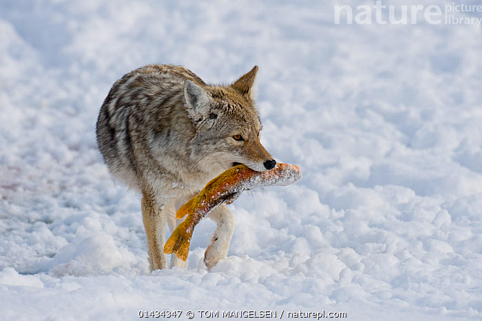 Coyote (Canis latrans) carrying fish prey through snow, with standing in snow, Grand Teton National Park, Wyoming, USA. February., ANIMAL,VERTEBRATE,MAMMAL,CARNIVORE,CANID,DOG,COYOTE,ANIMALIA,ANIMAL,WILDLIFE,VERTEBRATE,CHORDATE,MAMMALIA,MAMMAL,CARNIVORA,CARNIVORE,CANIDAE,CANID,CANIS,DOG,CANIS LATRANS,COYOTE,AMERICAN JACKAL,BRUSH WOLF,PRAIRIE WOLF,NORTH AMERICA,USA,WESTERN USA,WYOMING,SNOW,WINTER,ANIMAL BEHAVIOUR,PREDATION,RESERVE,BEHAVIOUR,PROTECTED AREA,NATIONAL PARK,YELLOWSTONE NATIONAL PARK, TOM MANGELSEN