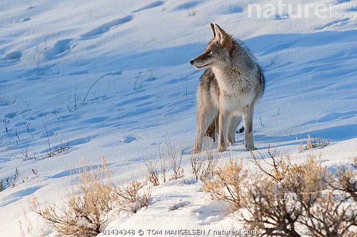 Coyote (Canis latrans) with standing in snow, Yellowstone National Park, Wyoming, USA. February., ANIMAL,VERTEBRATE,MAMMAL,CARNIVORE,CANID,DOG,COYOTE,ANIMALIA,ANIMAL,WILDLIFE,VERTEBRATE,CHORDATE,MAMMALIA,MAMMAL,CARNIVORA,CARNIVORE,CANIDAE,CANID,CANIS,DOG,CANIS LATRANS,COYOTE,AMERICAN JACKAL,BRUSH WOLF,PRAIRIE WOLF,NORTH AMERICA,USA,WESTERN USA,WYOMING,SNOW,WINTER,RESERVE,PROTECTED AREA,NATIONAL PARK,YELLOWSTONE NATIONAL PARK, TOM MANGELSEN