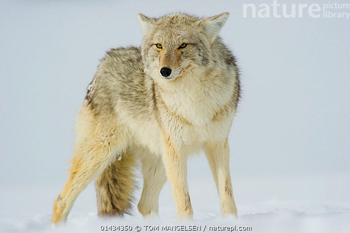Coyote (Canis latrans) with ears back standing in snow, Yellowstone National Park, Wyoming, USA. February., ANIMAL,VERTEBRATE,MAMMAL,CARNIVORE,CANID,DOG,COYOTE,ANIMALIA,ANIMAL,WILDLIFE,VERTEBRATE,CHORDATE,MAMMALIA,MAMMAL,CARNIVORA,CARNIVORE,CANIDAE,CANID,CANIS,DOG,CANIS LATRANS,COYOTE,AMERICAN JACKAL,BRUSH WOLF,PRAIRIE WOLF,NORTH AMERICA,USA,WESTERN USA,WYOMING,PORTRAIT,SNOW,WINTER,RESERVE,PROTECTED AREA,NATIONAL PARK,YELLOWSTONE NATIONAL PARK, TOM MANGELSEN