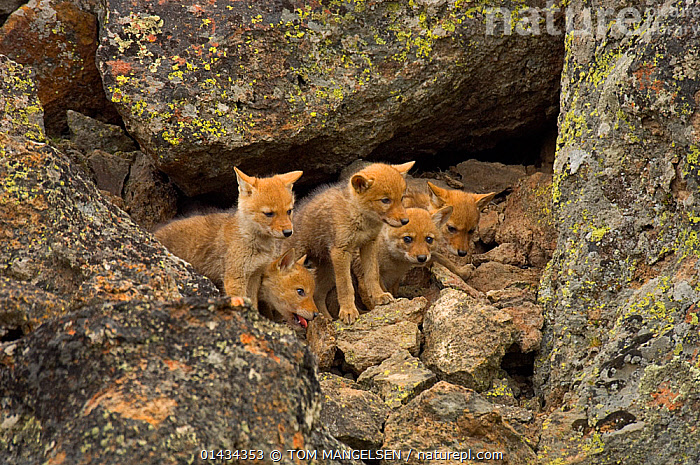 Litter of Coyote (Canis latrans) pups emerging from den. Yellowstone National Park, Wyoming, USA, June., ANIMAL,VERTEBRATE,MAMMAL,CARNIVORE,CANID,DOG,COYOTE,ANIMALIA,ANIMAL,WILDLIFE,VERTEBRATE,CHORDATE,MAMMALIA,MAMMAL,CARNIVORA,CARNIVORE,CANIDAE,CANID,CANIS,DOG,CANIS LATRANS,COYOTE,AMERICAN JACKAL,BRUSH WOLF,PRAIRIE WOLF,CUTE,ADORABLE,NORTH AMERICA,USA,WESTERN USA,WYOMING,YOUNG ANIMAL,JUVENILE,BABIES,BABY MAMMAL,BABY MAMMALS,CUB,PUP,PUPS,RESERVE,YOUNG,PROTECTED AREA,NATIONAL PARK,BABY,YELLOWSTONE NATIONAL PARK, TOM MANGELSEN
