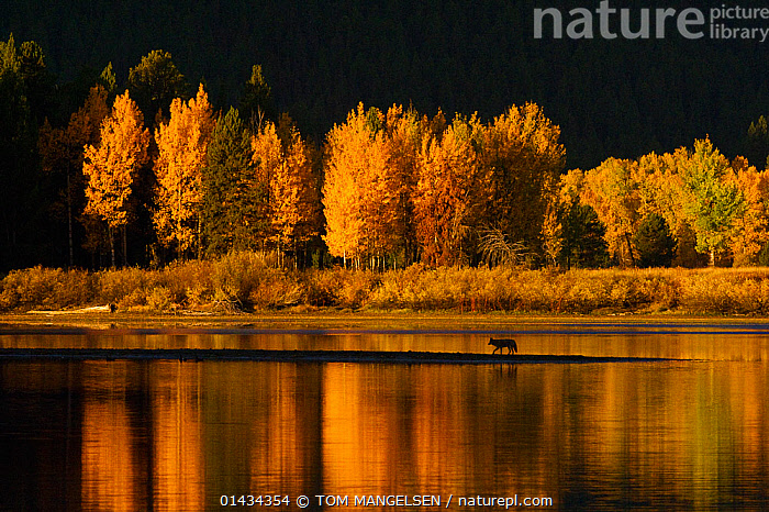 Coyote (Canis latrans) travelling on a sand bar, in autumn with trees reflecting in Snake River, Oxbow Bend,  Grand Teton National Park, Wyoming, USA., ANIMAL,VERTEBRATE,MAMMAL,CARNIVORE,CANID,DOG,COYOTE,ANIMALIA,ANIMAL,WILDLIFE,VERTEBRATE,CHORDATE,MAMMALIA,MAMMAL,CARNIVORA,CARNIVORE,CANIDAE,CANID,CANIS,DOG,CANIS LATRANS,COYOTE,AMERICAN JACKAL,BRUSH WOLF,PRAIRIE WOLF,ALONE,SOLITUDE,SOLITARY,NORTH AMERICA,USA,WESTERN USA,WYOMING,BACK LIT,BACKLIT,PLANT,TREE,FLOWING WATER,RIVER,LANDSCAPE,LANDSCAPES,AUTUMN,AUTUMNAL,FALL,FRESHWATER,HABITAT,SILHOUETTE,GRAND TETON NATIONAL PARK, TOM MANGELSEN