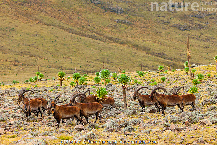 Walia ibex (Capra walie) herd, Simien Mountains National Park, Ethiopia, AFRICA,ARTIODACTYLA,biodiversity hotspot,biodiversity hotspots,Bovidae,EAST-AFRICA,Ethiopia,GOATS,GROUPS,horn of africa,MAMMALS,NP,RESERVE,VERTEBRATES high1314,CAPRA WALIE,Animal,Vertebrate,Mammal,Bovid,Goat,Walia ibex,Animalia,Animal,Wildlife,Vertebrate,Mammalia,Mammal,Artiodactyla,Even-toed ungulates,Bovidae,Bovid,ruminantia,Ruminant,Capra,Goat,Wild goats,Capra walie,Walia ibex,Standing,Direction,Togetherness,Close,Together,Colour,Brown,Herds,Group,Medium Group,Nobody,Horned,Africa,East Africa,Ethiopia,High Angle View,Side View,Hill,Hills,Hillside,Hillsides,Outdoors,Open Air,Outside,Day,Nature,Natural,Natural World,Wild,Reserve,Protected area,National Park,Horn,Elevated view,Medium group of animals,Direct Gaze,Aware,Simien Mountains,Purpose,Brown Colour,Endangered species,threatened,Endangered, Juan  Carlos Munoz