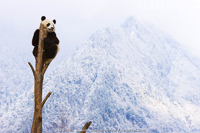 Giant panda (Ailuropoda melanoleuca) at the top of a tree, Sichuan, China, January, catalogue6,AILUROPODA MELANOLEUCA,Animal,Vertebrate,Mammal,Carnivore,Bear,Giant panda,Animalia,Animal,Wildlife,Vertebrate,Chordate,Mammalia,Mammal,Carnivora,Carnivore,Ursidae,Bear,Ailuropoda,Ailuropoda melanoleuca,Giant panda,Balance,Apprehensive,Risky,High Up,Elevated,Elevation,High,No One,Nobody,Close Up,Plant,Treetop,Treetops,Outdoors,Open Air,Outside,Day,Precarious,Sichuan,Endangered species,threatened,Endangered,Asia, Juan  Carlos Munoz