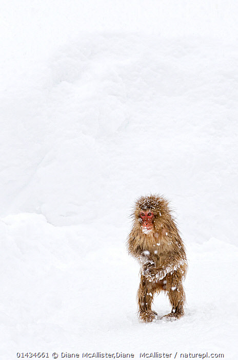 Japanese Macaque (Macaca fuscata) juvenile standing up with feet pointed inward, Jigokudani, Japan, January, ALONE,ASIA,BABIES,biodiversity hotspot,biodiversity hotspots,Cercopithecidae,COLD,copyspace,CUTE,east asia,JAPAN,MACAQUES,MAMMALS,MONKEYS,PRIMATES,SNOW,SNOW MONKEY,VERTEBRATES,VERTICAL,WINTER,YOUNG,catalogue6,MACACA FUSCATA,Animal,Vertebrate,Mammal,Monkey,Macaque,Japanese macaque,Animalia,Animal,Wildlife,Vertebrate,Chordate,Mammalia,Mammal,Primate,Primates,Cercopithecidae,Monkey,Old World Monkeys,Macaca,Macaque,Papionini,Macaca fuscata,Japanese macaque,Standing,Cute,Adorable,Alone,Solitude,Solitary,Vulnerability,Vulnerable,Vunerability,Vunerable,Lost,Frozen,No One,Nobody,Temperature,Cold,Chill,Chilly,Asia,East Asia,Japan,Copy Space,Plain Background,White Background,Young Animal,Juvenile,Weather,Snowing,Snowfall,Outdoors,Open Air,Outside,Day,Young,Biodiversity hotspots,Biodiversity hotspot,Negative space,Jigokudani Monkey Park, Diane McAllister,Diane  McAllister