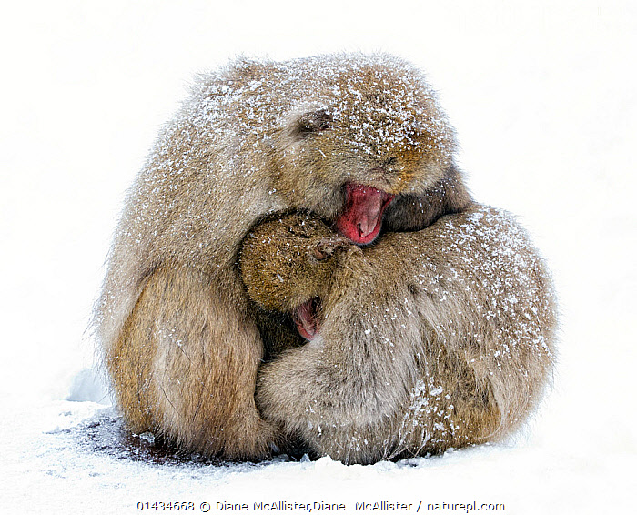 Japanese Macaque (Macaca fuscata) male and female huddle together during a light snowfall in Jigokudani Japan, January, AFFECTIONATE,ASIA,BEHAVIOUR,biodiversity hotspot,biodiversity hotspots,Cercopithecidae,COLD,east asia,FEMALES,Hugging,JAPAN,MACAQUES,MALE FEMALE PAIR,MALES,MAMMALS,MONKEYS,PRIMATES,SNOW,SNOW MONKEY,THERMOREGULATION,VERTEBRATES,WINTER,WINTERS,catalogue6,MACACA FUSCATA,Animal,Vertebrate,Mammal,Monkey,Macaque,Japanese macaque,Animalia,Animal,Wildlife,Vertebrate,Chordate,Mammalia,Mammal,Primate,Primates,Cercopithecidae,Monkey,Old World Monkeys,Macaca,Macaque,Papionini,Macaca fuscata,Japanese macaque,Compassionate,Consolation,Partnership,Two,No One,Nobody,Temperature,Cold,Chill,Chilly,Warm,Warming,Warmth,Uncomfortable,Discomfort,Affection,Asia,East Asia,Japan,Plain Background,White Background,Close Up,Female animal,Male Animal,Snow,Weather,Snowing,Snowfall,Outdoors,Open Air,Outside,Day,Biodiversity hotspots,Biodiversity hotspot,Two animals,Jigokudani Monkey Park, Diane McAllister,Diane  McAllister