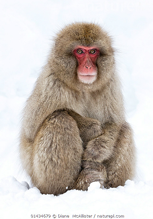 Japanese Macaque (Macaca fuscata) adult sitting in snow with paws stacked, Jigokudani, Japan, January, ASIA,biodiversity hotspot,biodiversity hotspots,Cercopithecidae,east-asia,JAPAN,MACAQUES,MAMMALS,MONKEYS,PORTRAITS,PRIMATES,SNOW,SNOW MONKEY,VERTEBRATES,VERTICAL,WINTER high1314,MACACA FUSCATA,Animal,Vertebrate,Mammal,Monkey,Macaque,Japanese macaque,Animalia,Animal,Wildlife,Vertebrate,Mammalia,Mammal,Primate,Primates,Cercopithecidae,Monkey,Old World Monkeys,Macaca,Macaque,Papionini,Macaca fuscata,Japanese macaque,Sitting,Waiting,Caution,Cautious,Patience,Asia,East Asia,Japan,Chubu,Nagano Prefecture,Hair,Fur,Snow,Outdoors,Open Air,Outside,Day,Jigokudani,Animal Hair,Red Face, Diane  McAllister