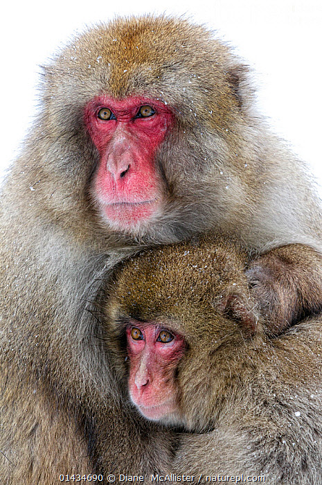 Japanese Macaque (Macaca fuscata) male holding onto his female mate defensively, Jigokudani, Japan, February, AFFECTIONATE,ASIA,BEHAVIOUR,biodiversity hotspot,biodiversity hotspots,Cercopithecidae,DEFENSIVE,east-asia,FEMALES,Hugging,JAPAN,MACAQUES,MALE-FEMALE-PAIR,MALES,MAMMALS,MONKEYS,PRIMATES,SNOW,SNOW MONKEY,VERTEBRATES,VERTICAL,WINTER high1314,MACACA FUSCATA,Animal,Vertebrate,Mammal,Monkey,Macaque,Japanese macaque,Animalia,Animal,Wildlife,Vertebrate,Mammalia,Mammal,Primate,Primates,Cercopithecidae,Monkey,Old World Monkeys,Macaca,Macaque,Papionini,Macaca fuscata,Japanese macaque,Glance,Glances,Glancing,Look Away,Looks Away,Fear,Two,Nobody,Serious,Asia,East Asia,Japan,Chubu,Nagano Prefecture,Close Up,Female animal,Male Animal,Hair,Fur,Outdoors,Open Air,Outside,Winter,Day,Nature,Natural,Natural World,Wild,Animal Behaviour,Defensive,Behaviour,Two animals,Jigokudani,Animal Hair,Red Face,Arm around, Diane  McAllister