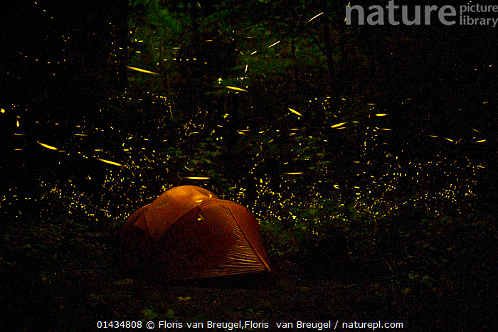 Tent at night surrounded   by Fireflies (Photinus carolinus) Great Smoky Mountains National Park, Tennessee, USA, June 2013.  ,  catalogue6,Animal,Arthropod,Insect,Beetle,Firefly,Rover firefly,Animalia,Animal,Wildlife,Hexapoda,Arthropod,Invertebrate,Hexapod,Arthropoda,Insecta,Insect,Coleoptera,Beetle,Endopterygota,Neoptera,Lampyridae,Firefly,Lightning bug,Glowworm,Elateroidea,Polyphaga,Magic,Magical,Motion,Active,Movement,Mystery,Mysterious,On The Move,Sayings,Getting Away From It All,Away From It All,Craziness,Crazy,No One,Nobody,Colour Intensity,Dark,Darkness,Americas,North America,USA,Southern USA,Southeast US,Tennessee,Horizontal,Tent,Outdoors,Open Air,Outside,Night,Nocturnal,Animal Behaviour,Reserve,Behaviour,Bioluminescent,Bioluminescence,Rover firefly,Protected area,National Park,Moving,One Object,Surrounded,Lit Up,Extreme Camping,Great Smoky Mountains,,bioluminescence,  ,  Floris van Breugel,Floris  van Breugel