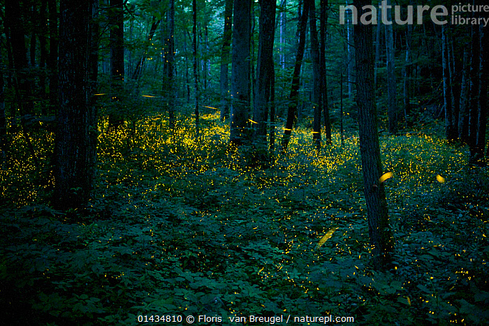 Syncronous Fireflies (Photinus carolinus) illuminate the lush forests of Smoky Mountains National Park, Tennesse, USA, July, catalogue6,Animal,Arthropod,Insect,Beetle,Firefly,Rover firefly,Animalia,Animal,Wildlife,Hexapoda,Arthropod,Invertebrate,Hexapod,Arthropoda,Insecta,Insect,Coleoptera,Beetle,Endopterygota,Neoptera,Lampyridae,Firefly,Lightning bug,Glowworm,Elateroidea,Polyphaga,Fantasy,Fantasies,Fantastical,Magic,Magical,Motion,Active,Movement,Mystery,Mysterious,On The Move,Craziness,Crazy,Colour,Yellow,Many,Group,Large Group,No One,Nobody,Colour Intensity,Dark,Darkness,Americas,North America,USA,Southern USA,Southeast US,Tennessee,Horizontal,Plant,Tree Trunk,Outdoors,Open Air,Outside,Night,Woodland,Animal Behaviour,Reserve,Forest,Behaviour,Bioluminescent,Bioluminescence,Rover firefly,Multitude,Mass,Protected area,National Park,Moving,Forest floor,Lit Up,,Surreal,,bioluminescence,, Floris  van Breugel