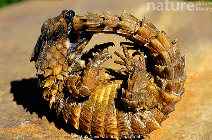 Armadillo Lizard (Cordylus cataphractus) biting its own tail while trying to roll into a defensive ball, captive, from South Africa  ,  catalogue6,CORDYLUS CATAPHRACTUS,Animal,Vertebrate,Reptile,Squamate,Girdled lizard,Armadillo girdled lizard,Animalia,Animal,Wildlife,Vertebrate,Chordate,Reptilia,Reptile,Squamata,Squamate,Cordylidae,Girdled lizard,spinytail lizard,girdle tail lizard,Lizard,Ouroborus,Ouroborus cataphractus,Armadillo girdled lizard,Zonurus cataphractus,Cordylus nebulosus,Cordylus cataphractus,Futility,Futile,Useless,Uselessness,Humorous,No One,Nobody,Africa,Southern Africa,South Africa,Close Up,Tail,Outdoors,Open Air,Outside,Day,Captivity,Animal Behaviour,Defensive,Behaviour,South African,Coiled,Curled up,Concepts,,Lizard,  ,  Daniel  Heuclin