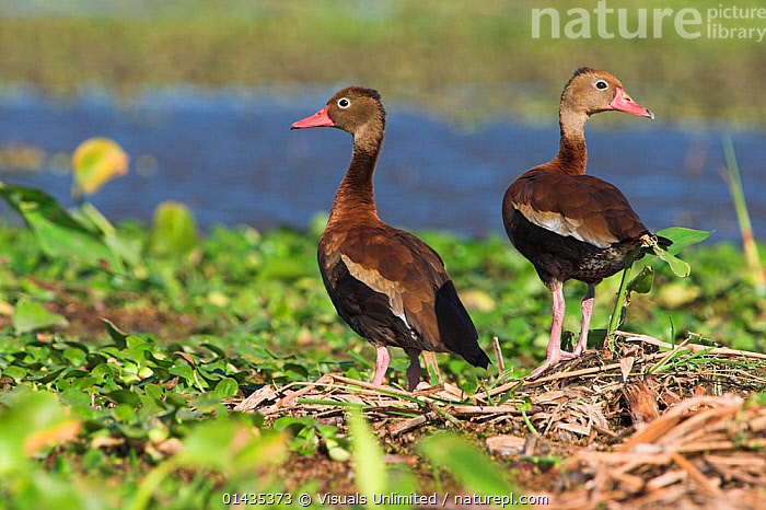 Black bellied Whistling ducks (Dendrocygna autumnalis) at possible nesting site, Costa Rica  ,  BIRDS,CENTRAL AMERICA,DUCKS,NESTING BEHAVIOUR,NESTS,TROPICS,TWO,VERTEBRATES,WATER,WATERFOWL,WETLANDS,WHISTLING DUCKS  ,  Visuals Unlimited