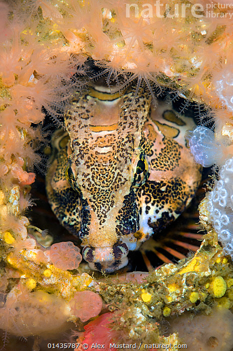 Grunt sculpin (Rhamphocottus richardsonii) looks out from its home in an empty barnacle shell. This unusual looking fish is evolved to resemble the giant acorn barnacle, when sheltering in a disused shell like this. Browning Pass, Vancouver Island, British Columbia, Canada. North East Pacific Ocean.  ,  ANIMALIA,ANIMAL,VERTEBRATE,ACTINOPTERYGII,RAY FINNED FISH,SCORPAENIFORMES,COTTIDAE,SCULPIN,RHAMPHOCOTTUS,RHAMPHOCOTTUS RICHARDSONII,GRUNT SCULPIN,THE AMERICAS,AMERICAS,NORTH AMERICA,CANADA,BRITISH COLUMBIA,VANCOUVER,VERTICAL,PORTRAIT,PORTRAITS,MARINE,UNDERWATER,TEMPERATE,SALTWATER,SALT WATER,SEA WATER,HOMES,ANIMAL,VERTEBRATE,RAY FINNED FISH,SCULPIN,GRUNT SCULPIN,HOMES  ,  Alex  Mustard