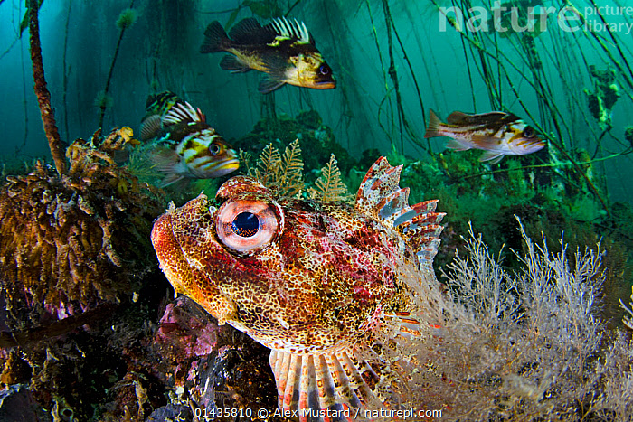 Red Irish lord (Hemilepidotus hemilepidotus) hides on the seabed, with Quillback rockfish (Sebastes maliger) and copper rockfish (Sebastes caurinus) behind in the bull kelp forest. Browning Pass, Vancouver Island, British Columbia, Canada. North East Pacific Ocean.  ,  high1314,Stramenophila,Yellow-green algae,Brown algae,Kelp,Bull kelp,Animal,Vertebrate,Ray-finned fish,Rockfish,Copper rockfish,Sculpin,Red irish lord,Scorpionfish,Chromista,Stramenophila,Ochrophyta,Yellow-green algae,Heterokontophyta,Phaeophyceae,Brown algae,Laminariales,Kelp,Seaweed,Laminariaceae,Nereocystis,Nereocystis luetkeana,Bull kelp,Fucus luetkeanus,Animalia,Animal,Wildlife,Vertebrate,Actinopterygii,Ray-finned fish,Osteichthyes,Bony fish,Fish,Scorpaeniformes,Scorpaenidae,Scorpionfishes,Sebastes,Rockfish,Sebastes caurinus,Copper rockfish,Sebastodes caurinus,Cottidae,Sculpin,Hemilepidotus,Hemilepidotus hemilepidotus,Red irish lord,bullhead,Cottus hemilepidotus,Hiding,Swimming,Anticipation,Group,Medium Group,Nobody,Facial Expression,Smiling,Americas,North America,Canada,British Columbia,Vancouver,Profile,Horizontal,Close Up,Low Angle View,Side View,Animal Eye,Animal Eyes,Eye,Eyes,Sea Floor,Seabed,Ocean,Pacific Ocean,Marine,Underwater,Water,Temperate,Mixed species,Saltwater,Scorpionfish,Medium group of animals,Vancouver Island,Browning Pass,Marine  ,  Alex  Mustard