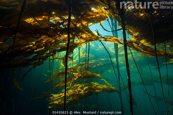 Scenic view of a bull kelp forest (Nereocystis luetkeana) with sunlight shining through the fronds. Browning Pass, Port Hardy, Vancouver Island, British Columbia. Canada. North East Pacific Ocean.  ,  catalogue6,Stramenophila,Yellow green algae,Brown algae,Kelp,Bull kelp,Chromista,Stramenophila,Ochrophyta,Yellow green algae,Phaeophyceae,Brown algae,Laminariales,Kelp,Laminariaceae,Nereocystis,Nereocystis luetkeana,Bull kelp,Growth,Grow,Growing,Grows,Mystery,Mysterious,Colour,Blue,Turquoise,Aqua,Aqua Blue,Torquoise,Yellow,No One,Nobody,Colour Intensity,Dark,Darkness,Americas,North America,Canada,British Columbia,Vancouver,Horizontal,Plant,Leaf,Foliage,Frond,Fronds,Light,Lights,Sunlight,Ocean,Pacific Ocean,Marine,Underwater,Habitat,Temperate,Saltwater,Vancouver Island,Browning Pass,Port Hardy,Concepts,Plants  ,  Alex  Mustard