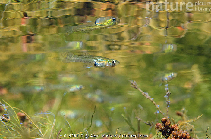 Female Mosquito fish (Gambusia affinis) swimming above weeds, below the surface of Lago Baratz, Sardinia, Italy. This species is originally from the Americas, but has been introduced into many countries to control mosquito populations. This female is pregnant and will give birth to live young.  ,  ANIMALIA,ANIMAL,WILDLIFE,VERTEBRATE,CHORDATE,ACTINOPTERYGII,RAY FINNED FISH,OSTEICHTHYES,BONY FISH,FISH,CYPRINODONTIFORMES,POECILIIDAE,LIVE BEARER,GAMBUSIA,GAMBUSIA AFFINIS,MOSQUITOFISH,TOPMINNOW,WESTERN MOSQUITOFISH,LIVE BEARING TOOTH CARP,HETERANDRIA AFFINIS,HETERANDRIA PATRUELIS,ZYGONECTES PATRUELIS,GROUP OF ANIMALS,ANIMAL GROUP,ANIMAL GROUPS,GROUP,GROUPS,GROUP OF ANIMAL,GROUPS OF ANIMAL,GROUPS OF ANIMALS,SHOAL,SHOALS,EUROPE,SOUTHERN EUROPE,SOUTH EUROPE,ITALY,SARDINIA,HORIZONTAL,FRESHWATER,LAKE,UNDERWATER,WATER,TEMPERATE,MEDITERRANEAN BASIN,MEDITERRANEAN,BIODIVERISTY HOTSPOT,BIODIVERSITY HOTSPOTS,ANIMAL,VERTEBRATE,RAY FINNED FISH,LIVE BEARER,MOSQUITOFISH,FRESHWATER  ,  Alex  Mustard