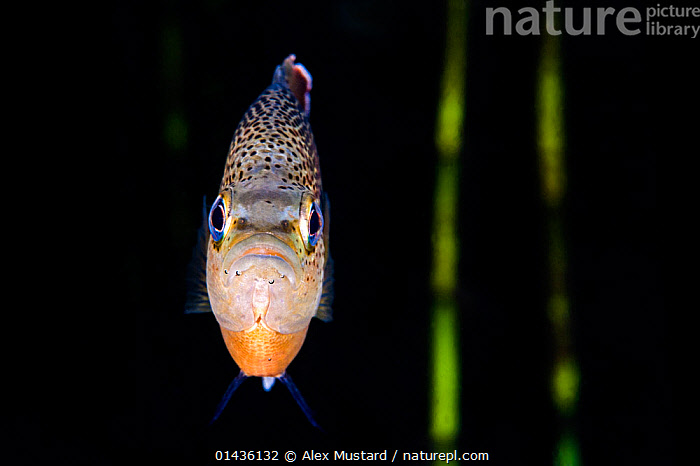 Portrait of a spotted sunfish (Lepomis punctatus) in front of reeds in a river. Rainbow River, Florida, United States of America., catalogue6,Animal,Vertebrate,Ray finned fish,Percomorphi,Basslet,Spotted sunfish,Animalia,Animal,Wildlife,Vertebrate,Chordate,Actinopterygii,Ray finned fish,Osteichthyes,Bony fish,Fish,Perciformes,Percomorphi,Acanthopteri,Grammidae,Basslet,Lepomis,Confronting,Confronts,No One,Nobody,Colour Intensity,Dark,Darkness,Slim,Skinny,Pattern,Patterned,Patterns,Spotted,Americas,North America,USA,Southern USA,Southeast US,Florida,Plain Background,Black Background,Horizontal,Close Up,Front View,View From Front,Portrait,Plant,Grass Family,Reed,Reeds,Animal Eye,Animal Eyes,Eye,Eyes,Flowing Water,River,Freshwater,Underwater,Spotted sunfish,Direct Gaze,Confrontational,Rainbow River, Alex  Mustard