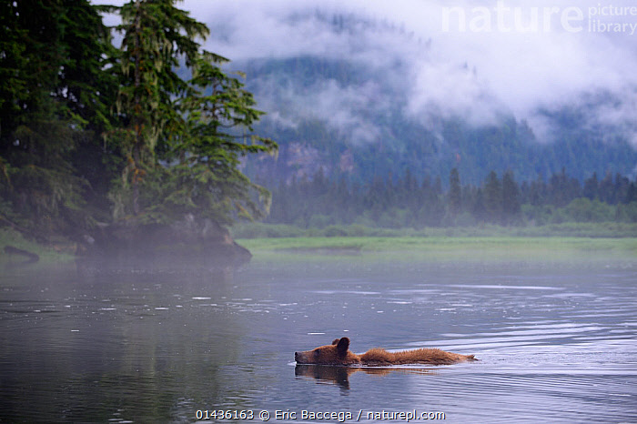 Juvenile Grizzly bear swimming in the estuary (Ursus arctos horribilis) Khutzeymateen Grizzly Bear Sanctuary, British Columbia, Canada, June 2013., catalogue6,URSUS ARCTOS HORRIBILIS,Animal,Vertebrate,Mammal,Carnivore,Bear,Brown Bear,Grizzly bear,Animalia,Animal,Wildlife,Vertebrate,Chordate,Mammalia,Mammal,Carnivora,Carnivore,Ursidae,Bear,Ursus,Ursus arctos,Brown Bear,Swimming,Leisure,Determination,Direction,On The Move,Alone,Solitude,Solitary,No One,Nobody,North America,Canada,British Columbia,Side View,Young Animal,Juvenile,Mist,Outdoors,Open Air,Outside,Day,Coast,Woodland,Estuary,Coastal,Forest,Young,Grizzly bear,Moving,Khutzeymateen Sanctuary, Eric Baccega