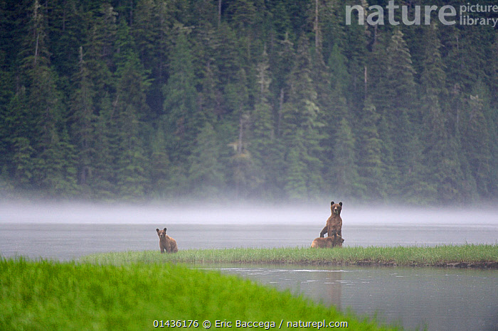 On a misty morning, female Grizzly bear (Ursus arctos horribilis) standing up in alert and looking around with her cubs for danger, while feeding on sedges, Khutzeymateen Grizzly Bear Sanctuary, British Columbia, Canada, June 2013., catalogue6,URSUS ARCTOS HORRIBILIS,Animal,Vertebrate,Mammal,Carnivore,Bear,Brown Bear,Grizzly bear,Animalia,Animal,Wildlife,Vertebrate,Chordate,Mammalia,Mammal,Carnivora,Carnivore,Ursidae,Bear,Ursus,Ursus arctos,Brown Bear,Standing,Alertness,Alert,Danger,Morning,Mornings,Distant,Distance,Two,No One,Nobody,Young Animal,Juvenile,Babies,Baby Mammal,Baby Mammals,Cub,Female animal,Mist,Outdoors,Open Air,Outside,Day,Woodland,Forest,Young,Grizzly bear,Baby,Two animals,North America, Eric Baccega
