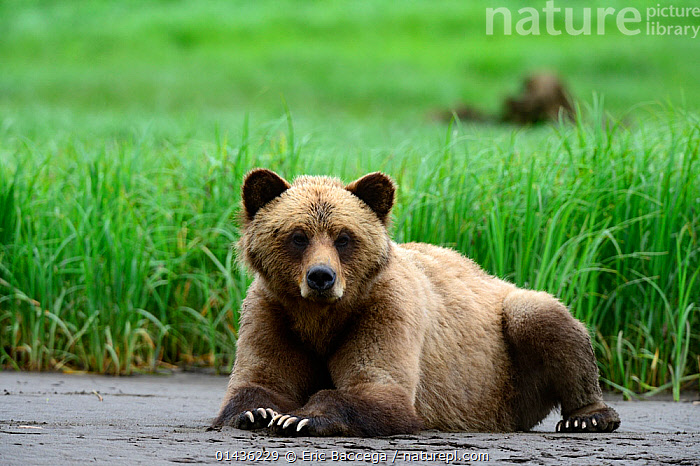 Young female Grizzly bear (Ursus arctos horribilis) resting on the inlet bank at low tide, Khutzeymateen Grizzly Bear Sanctuary, British Columbia, Canada, June.  ,  BEARS,BRITISH COLUMBIA,BROWN BEAR,CANADA,CARNIVORES,FEMALES,MAMMALS,NORTH AMERICA,URSIDAE,VERTEBRATES,YOUNG  ,  Eric Baccega