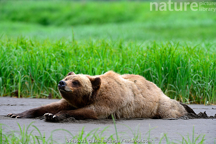 Young female Grizzly bear (Ursus arctos horribilis) resting and stretching on the inlet bank at low tide, Khutzeymateen Grizzly Bear Sanctuary, British Columbia, Canada, June.  ,  BEARS,BRITISH COLUMBIA,BROWN BEAR,CANADA,CARNIVORES,FEMALES,MAMMALS,NORTH AMERICA,RESTING,STRETCHING,URSIDAE,VERTEBRATES,YOUNG  ,  Eric Baccega