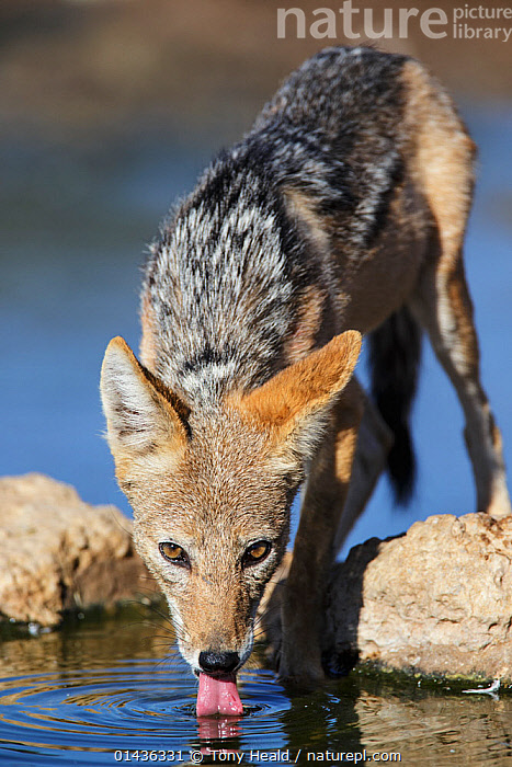 Black-backed Jackal (Canis mesomelas) drinking, Kgalagadi Transfrontier Park, South Africa. January  ,  catalogue6,Animal,Vertebrate,Mammal,Carnivore,Canid,Dog,Black backed Jackal,Animalia,Animal,Vertebrate,Mammalia,Mammal,Carnivora,Carnivore,Canidae,Canid,Canis,Dog,Canis mesomelas,Black backed Jackal,Alertness,Alert,Thirsty,Thirst,Suspicion,No One,Nobody,Shape,Shapes,Concentric,Ripple,Rippled,Ripples,Africa,Southern Africa,South Africa,Full Length,Full Lengths,Whole,Vertical,Close Up,Front View,View From Front,Hair,Fur,Rock,Animal Behaviour,Drinking,Reserve,Behaviour,Direct Gaze,South African  ,  Tony Heald