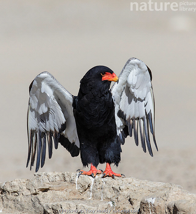 Bateleur Eagle (Terathopius ecaudatus) female, stretching wings Kgalagadi Transfrontier Park, South Africa. January, catalogue6,Animal,Vertebrate,Birds,Eagle,Bateleur eagle,Animalia,Animal,Vertebrate,Aves,Birds,Accipitriformes,Accipitridae,Terathopius,Eagle,Terathopius ecaudatus,Bateleur eagle,Stretching,Standing,Glance,Glances,Glancing,Look Away,Looks Away,Alertness,Alert,Preparation,Colour,Black,No One,Nobody,Africa,Southern Africa,South Africa,Copy Space,Horizontal,Close Up,Portrait,Female animal,Animal Body Part,Wing,Wings,Rock,Outdoors,Open Air,Outside,Day,Reserve,Wings spread,Wingspan,Negative space,South African, Tony Heald