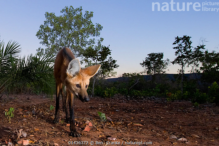 Maned wolf (Chrysocyon brachyurus) searching for food, Piaui, Cerrado, Brazil, South America  ,  biodiversity hotspot,biodiversity hotspots,Brazil,Canidae,CANIDS,CARNIVORES,Cerrado,MAMMALS,SOUTH-AMERICA,VERTEBRATES,WOLVES high1314,CHRYSOCYON BRACHYURUS,Animal,Vertebrate,Mammal,Carnivore,Canid,Maned wolf,Animalia,Animal,Wildlife,Vertebrate,Mammalia,Mammal,Carnivora,Carnivore,Canidae,Canid,Chyrscocyon,Maned wolf,Chrysocyon brachyurus,Canis jubatus,Vulpes cancrosa,Chrysocyon vulpes,Prowling,Foraging,Standing,Glance,Glances,Glancing,Look Away,Looks Away,Alone,Solitude,Solitary,Weakness,Weak,Hunger,Appetite,Hungry,Nobody,Slim,Skinny,Latin America,South America,Brazil,Front View,View From Front,Plant,Tree,Sky,Outdoors,Open Air,Outside,Day,Animal Behaviour,Behaviour,Cerrado,Biodiversity hotspot,Biodiversity hotspots,Blue sky,Piaui  ,  Ben  Cranke